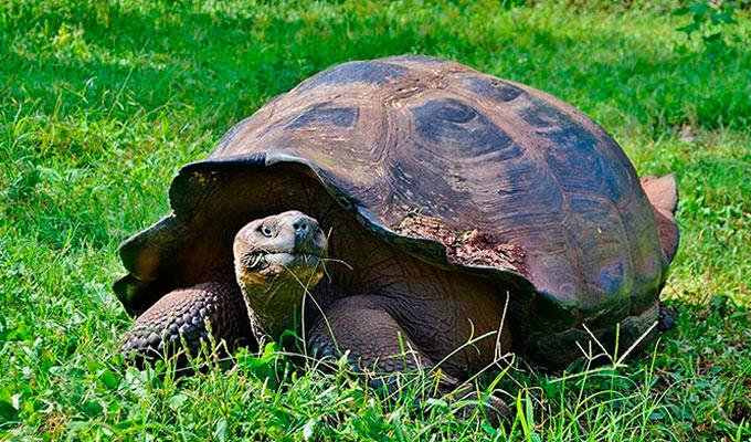 Galapagos giant tortoise feeding.