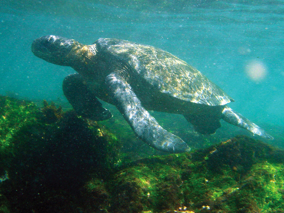 Galapagos green sea turtle swimming.