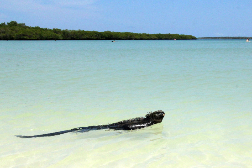 Galapagos marine iguana swimming at Tortuga Bay.