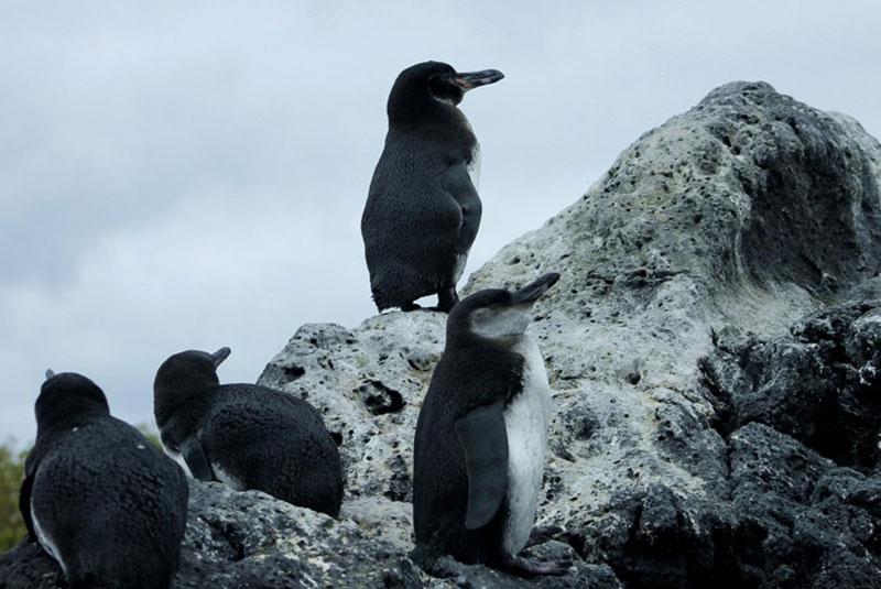 Pinguinos-islas-galápagos.jpg