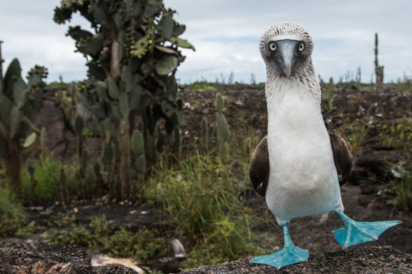 Blue-footed booby colourful anatomical features