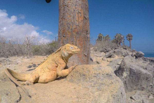 Santa Fe land iguana, a distinguished member of Galapagos Big 15