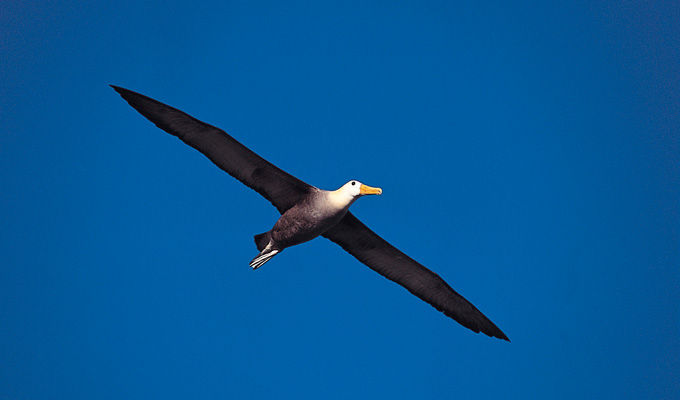 Albatross bird of flight