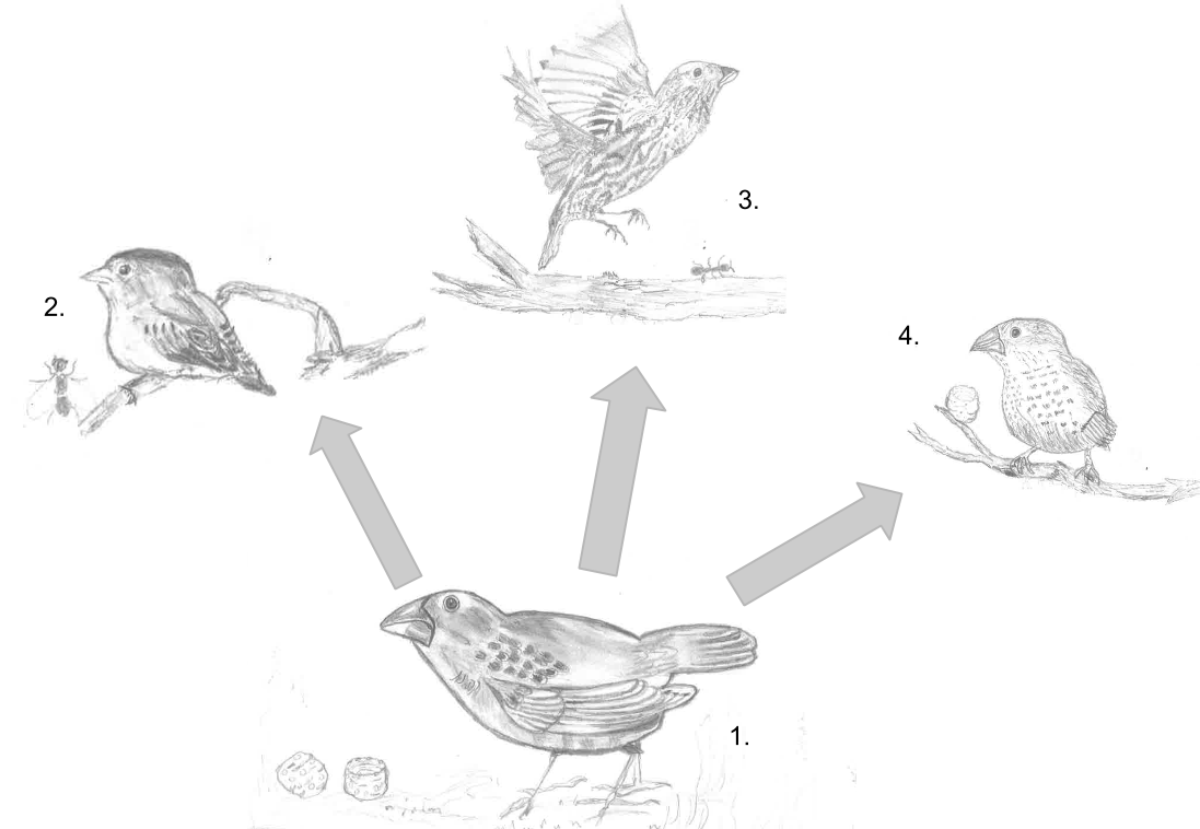 Finch adaptive radiation