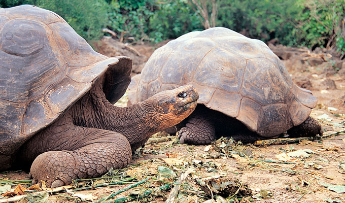 Galapagos giant tortoises