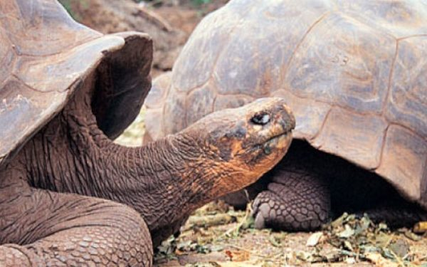 Galapagos giants tortoises
