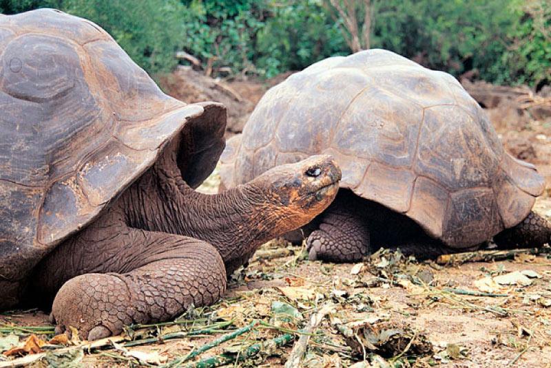 two-galapagos-giant-tortoises.jpg