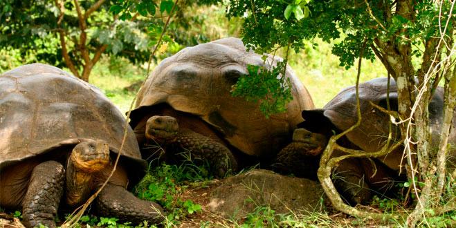Giant tortoises, Wildlife on the Galapagos Islands
