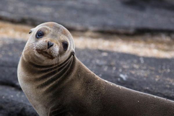 A picture of the galapagos fur seal