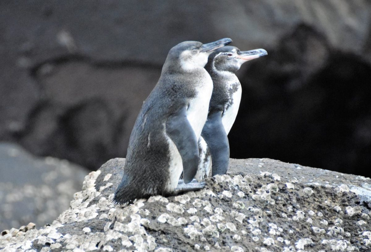 A couple of Galapagos penguins