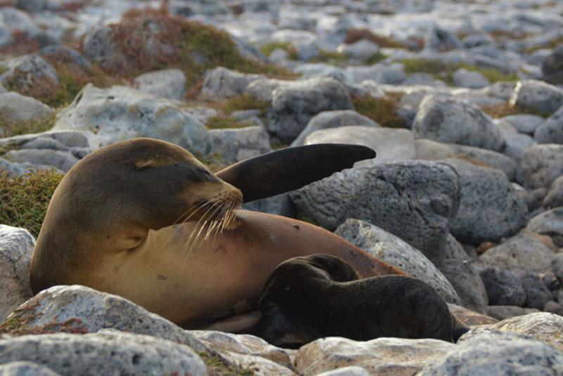 Galapagos-sea-lion-pup-breastfeeding.jpg
