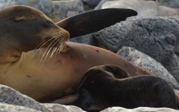 A Galapagos Sea Lion pup breastfeeding