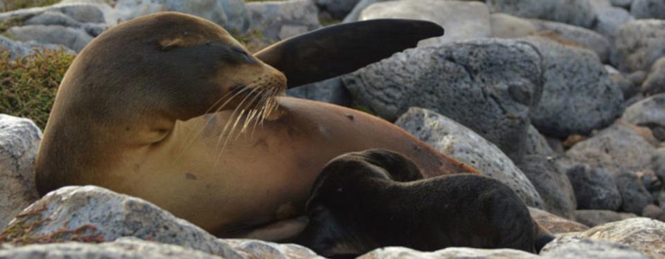 galapagos-sea-lion-pup-breastfeeding-2.jpg