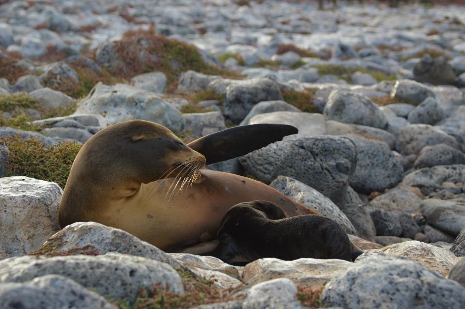 Galapagos sea lion pup breastfeeding
