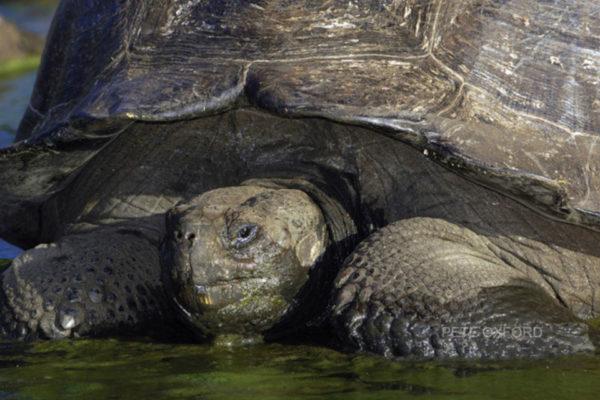 A Galapagos giant tortoises