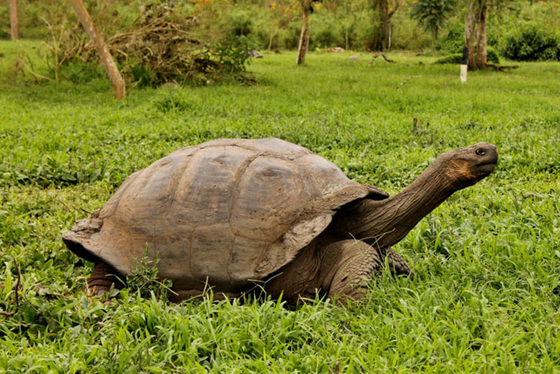 Galapagos-giant-tortoise-moving-on.jpg