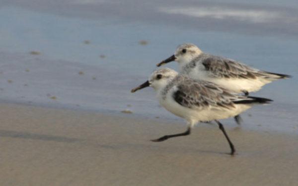 Shorebirds of the Galapagos Islands