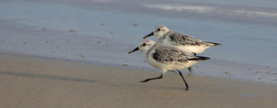 Shorebirds-galapagos-island-1.jpg