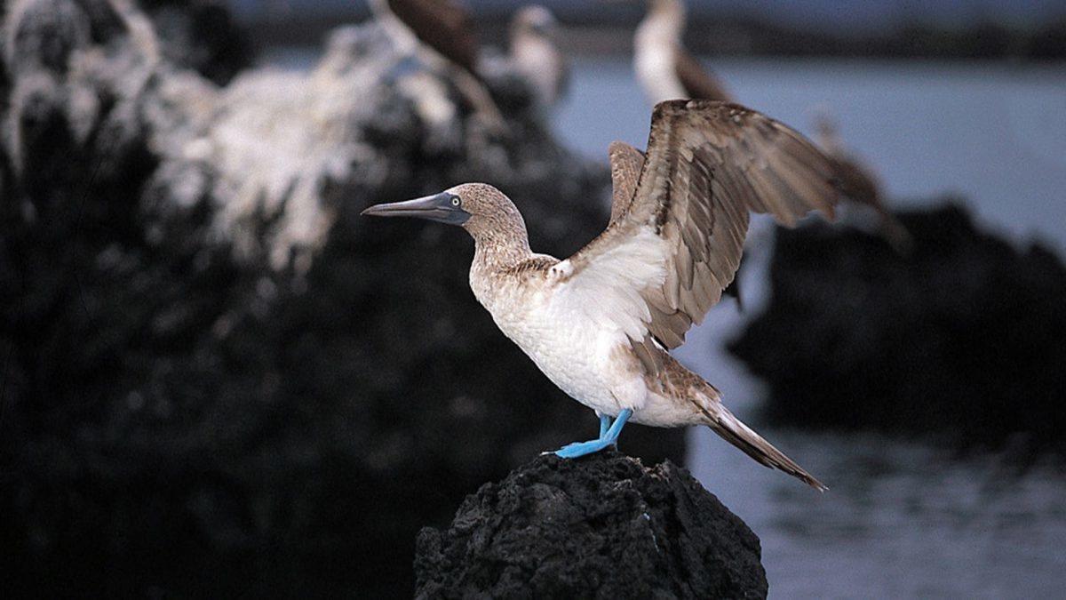 galapagos-blue-footed-booby-1200x675.jpg