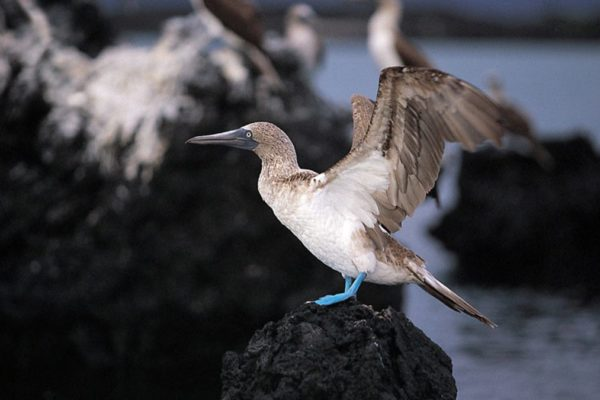 The blue-footed booby is one of the favorite Galapagos species.