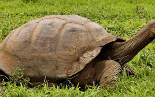 Galapagos giant tortoises moving on