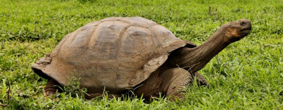 galapagos-giant-tortoise-moving-on-2.jpg