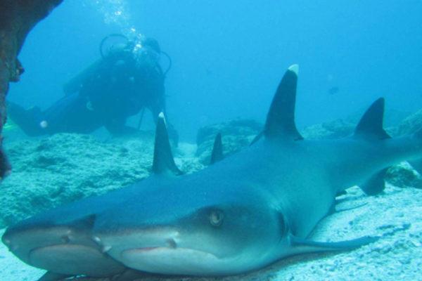 Sharks in Galapagos Island
