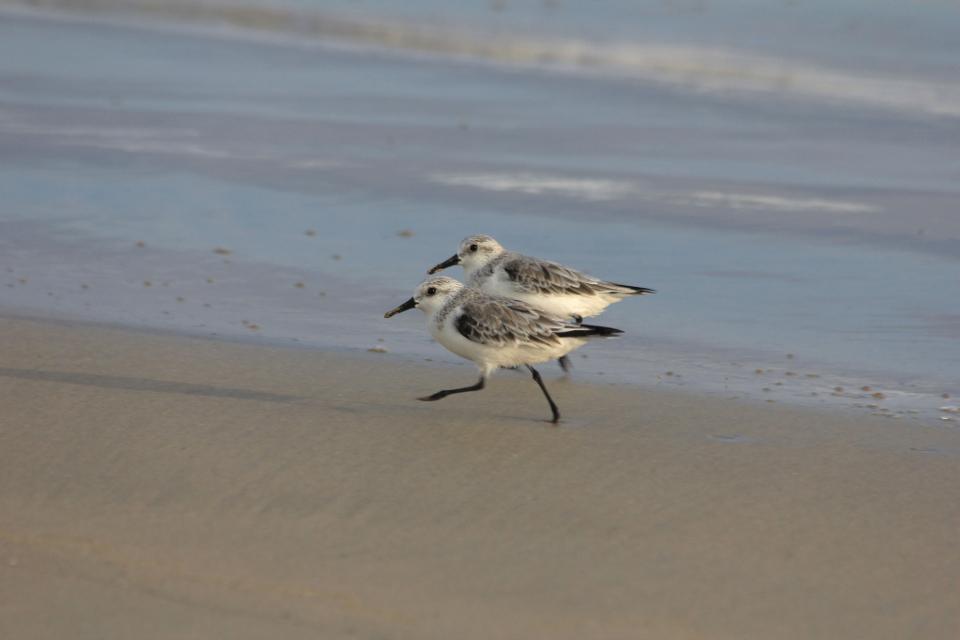 shorebirds galapagos