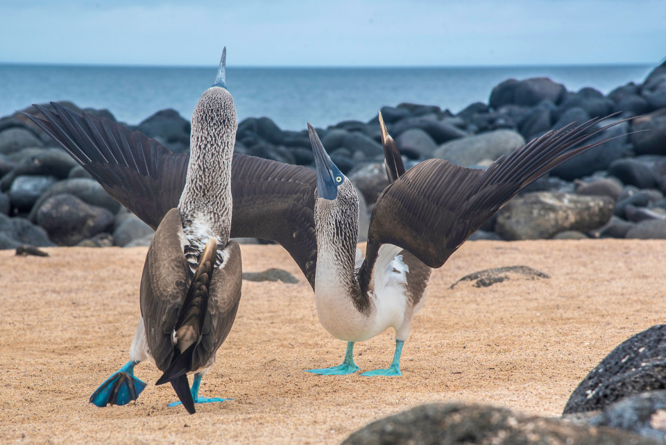 Blue-footed boobies courting