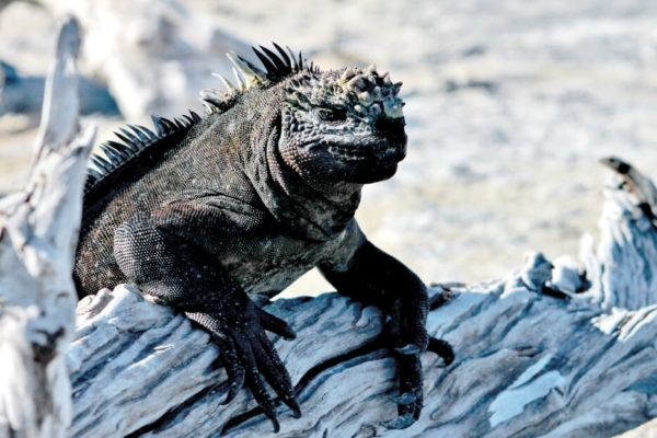 Galapagos marine iguana spotted on North Seymour Island