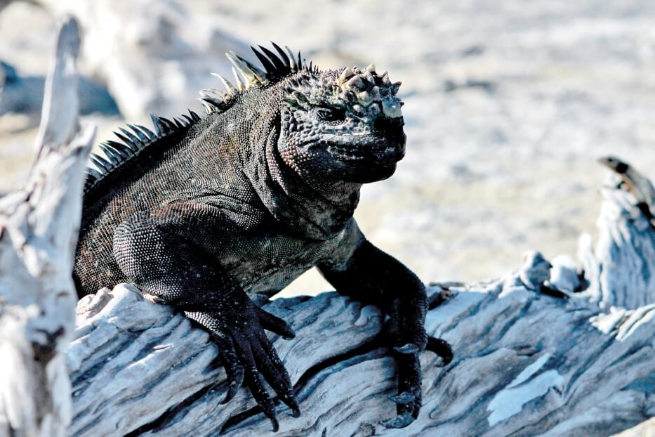 Marine Iguanas: Dark Scales, Illuminated Genes and more