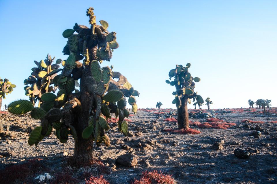 Opuntia cacti on South Plaza