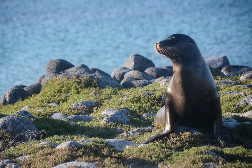 Galapagos sea lion on South Plaza