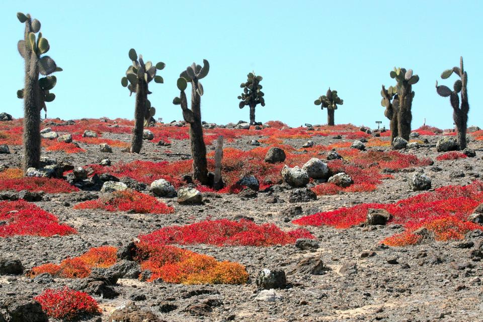 Galapagos lava cactii