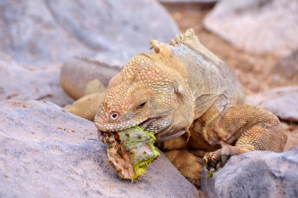 Santa Fe iguana spotted in Galapagos