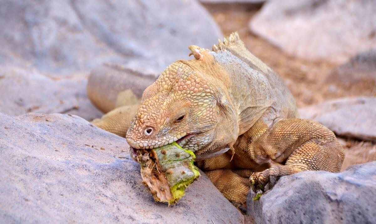 Iguana de Santa Fe avistada en Galápagos
