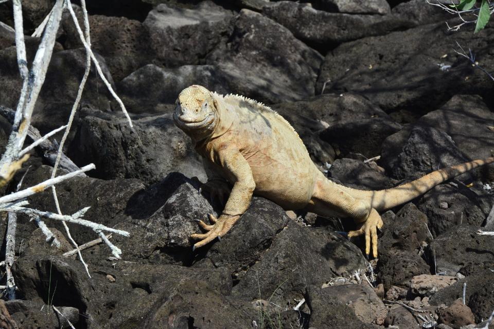 santa fe land iguana lava rock