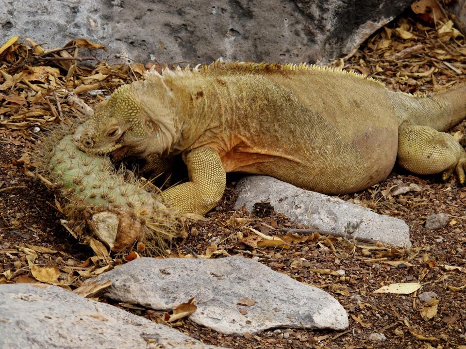 santa fe land iguana diet
