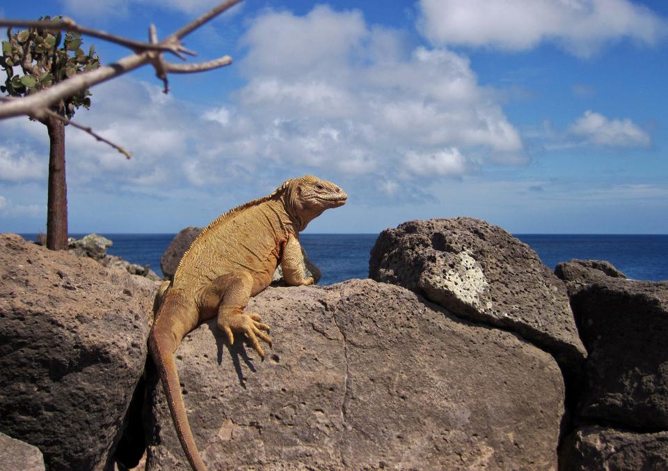 santa fe land iguana galapagos