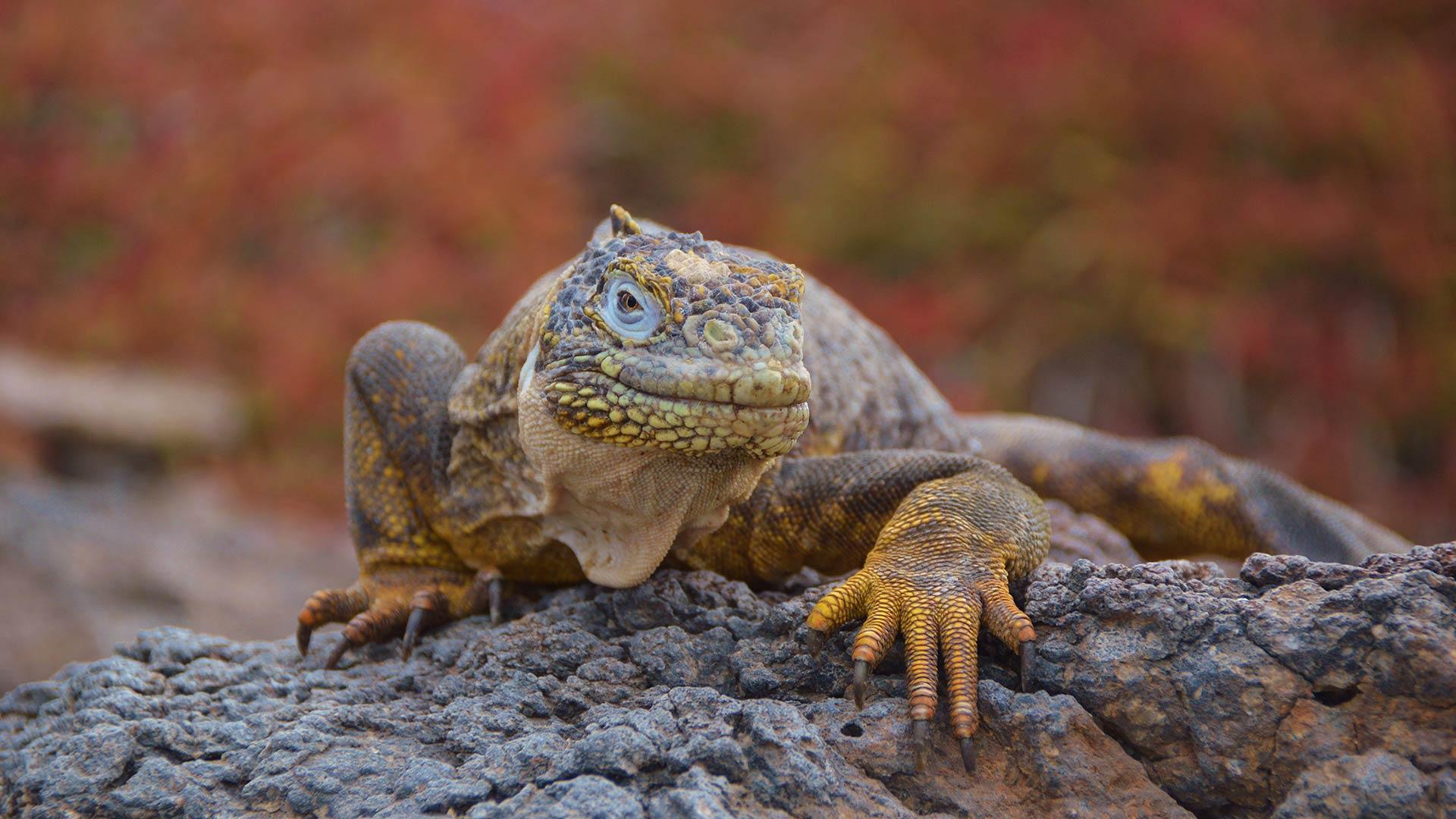 Iguana terrestre arrastrándose por las tierras de la Isla Plaza Sur
