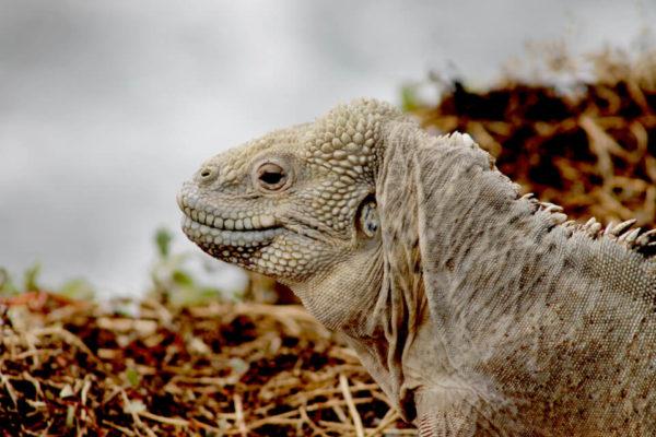 Santa Fe Land Iguana B15