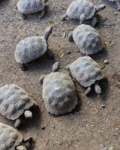 galapagos giant tortoise baby captivity