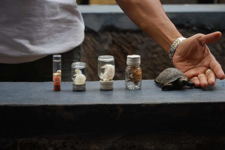 galapagos giant tortoise eggs hatching