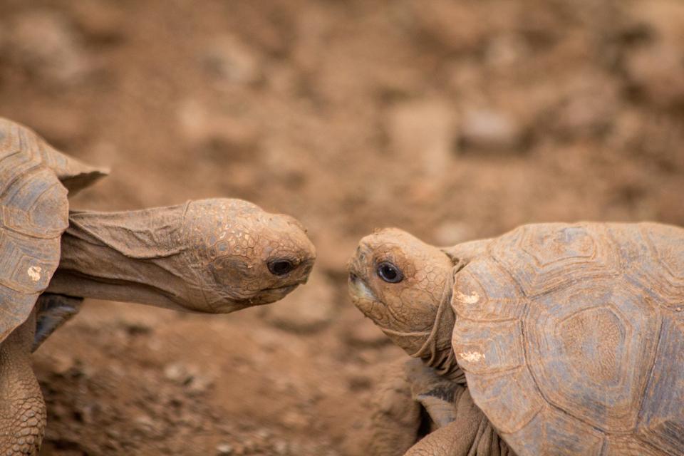 galapagos giant tortoise babies