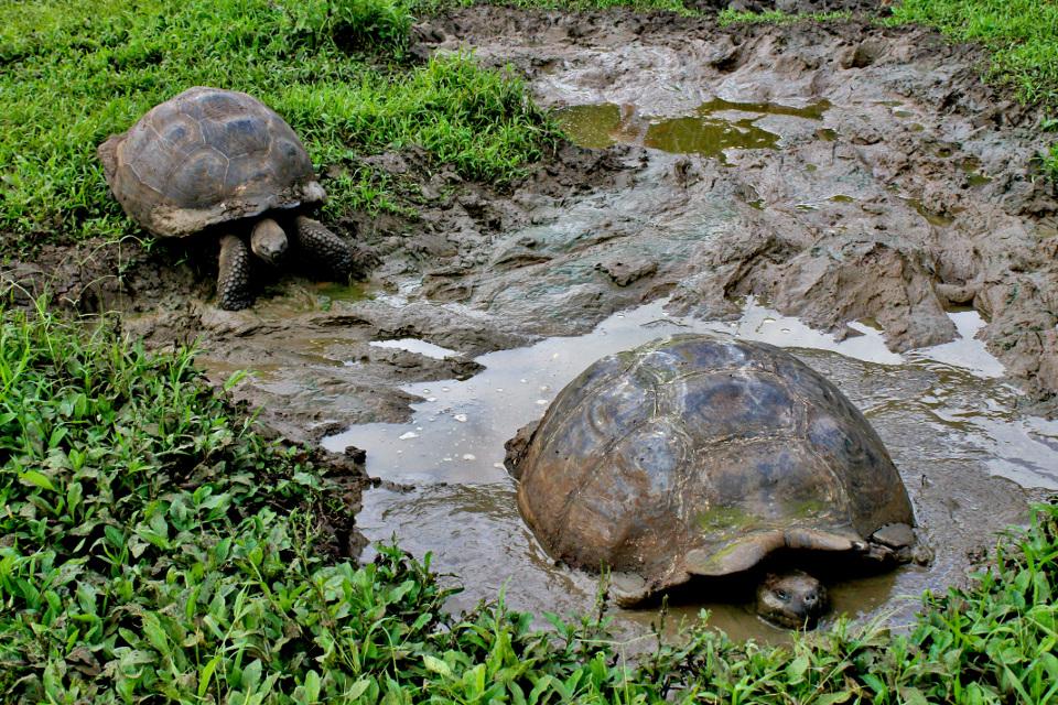 galapagos giant tortoise adult