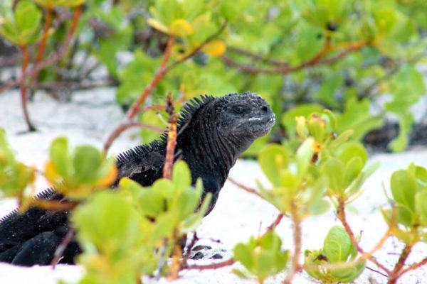 Marine Iguana, Galapagos Islands