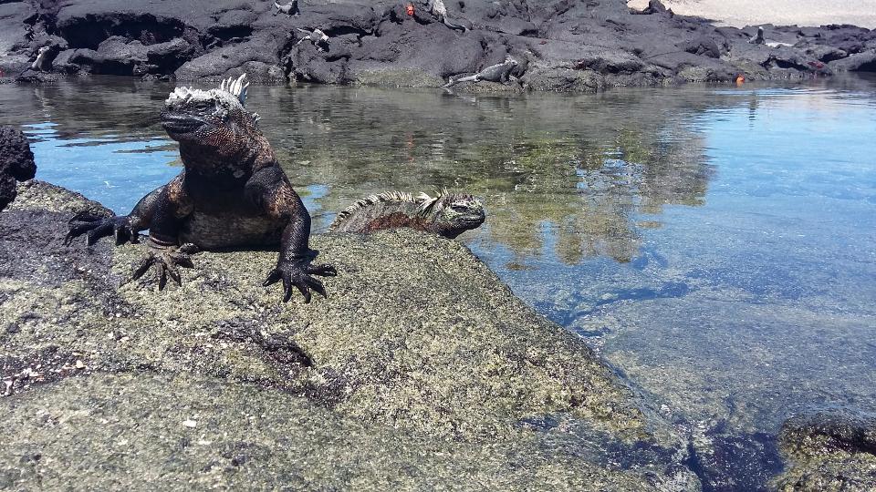 marine iguana snorkelling galapagos