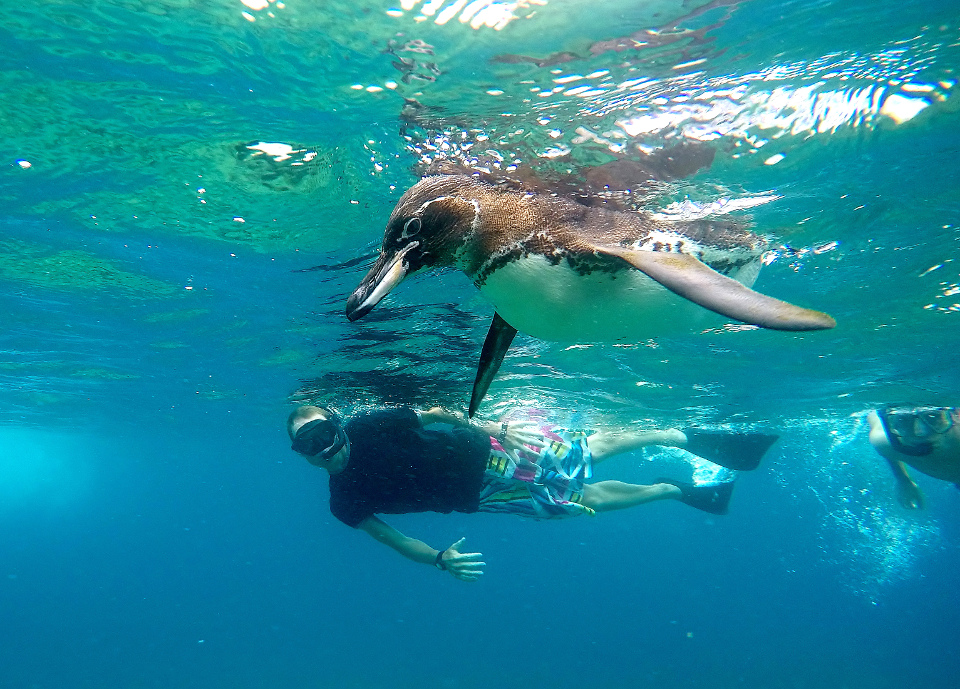 snorkelling in galapagos with galapagos penguins