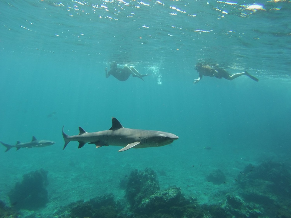 snorkelling with sharks galapagos