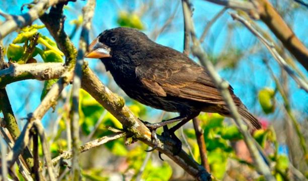 Darwin-Finch.jpg